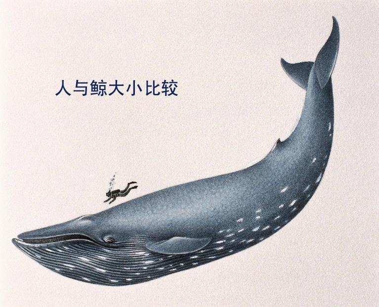 海洋最大的哺乳动物——蓝鲸
