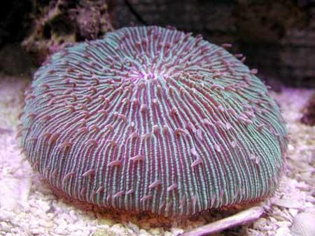 会走路的珊瑚