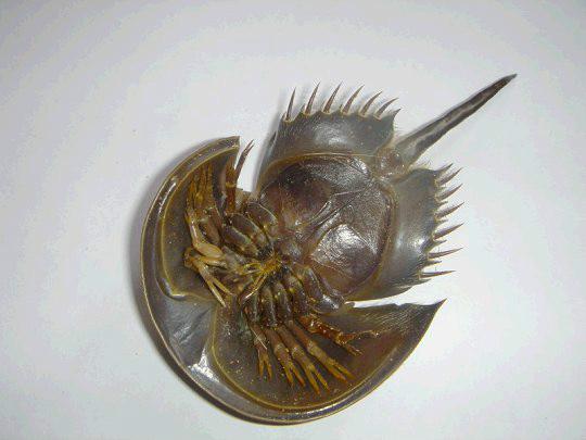 鲎,属肢口纲剑尾目的海生节肢动物.
