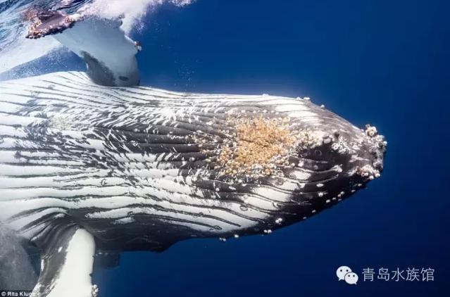 在座头鲸翻身入水的时候,可以看到它腹面上附着的藤壶.
