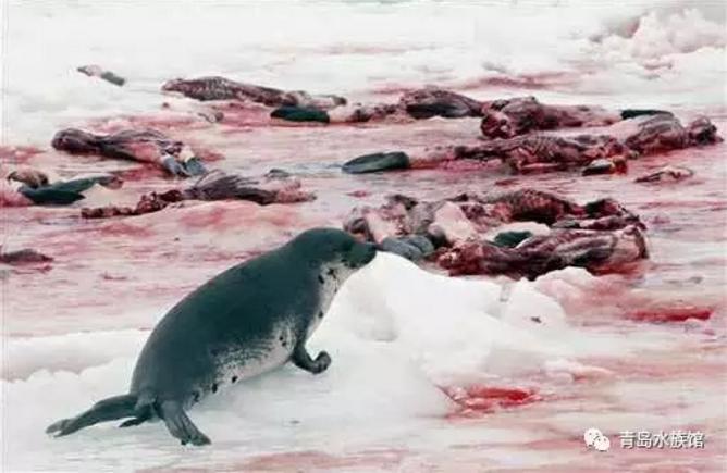 可爱海豹拍手图片大全