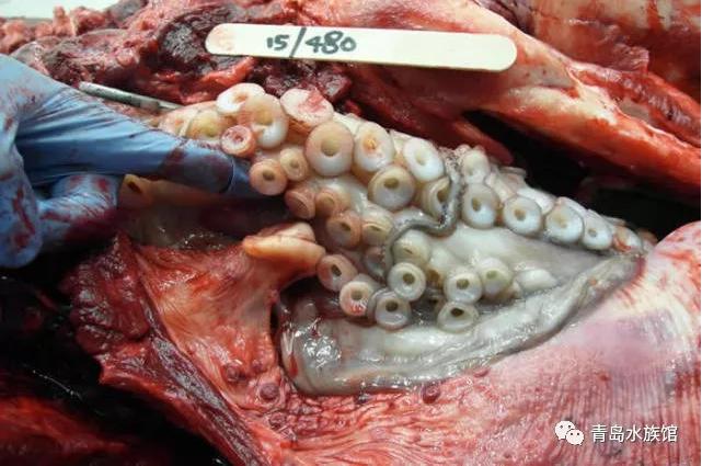章鱼首次发现因为吃动物而窒息而死的鲸豚类人类印太瓶鼻兔子莒县海豚头图片